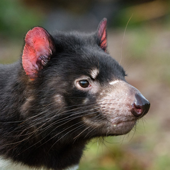 Nature and wildlife - Tasmanian Devil